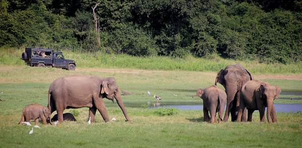 les éléphants sauvages du Sri Lanka
